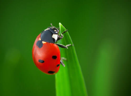 Lady Bugs – Tips for a Successful Release of these Beneficial Insects