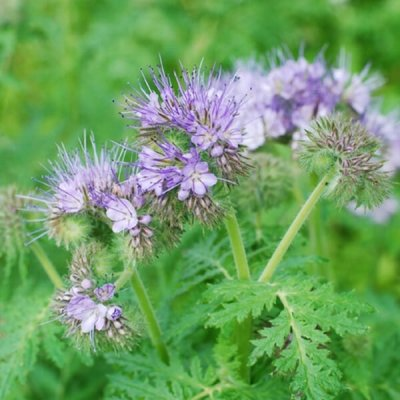 Lacy-Phacelia-Seed-by-walts-organic-fertilizers