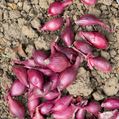 Organic-Red-Seed-Onions-Set-by-walts-organic-fertilizers