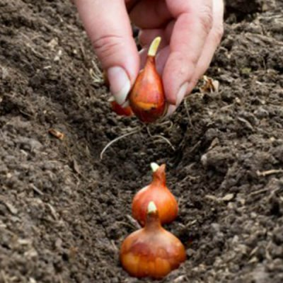 planting-dutch-yellow-organic-shallot-set-by-walts-organic-fertilizers