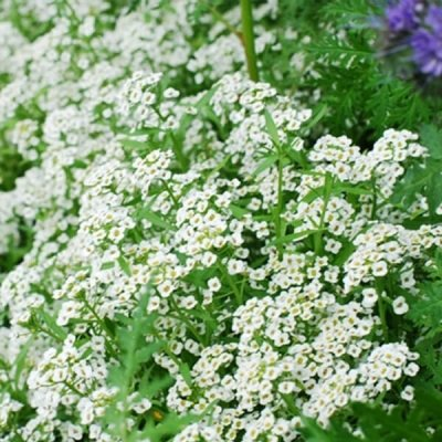 sweet-alyssum-seed-by-walts-organic-fertilizers