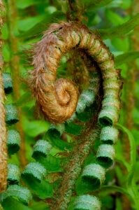 cutting-back-sword-ferns-at-walts-organic-landscaping